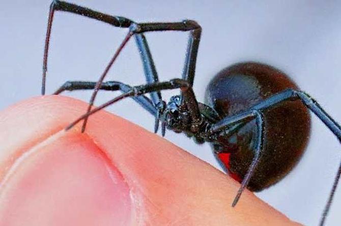 Niños intentan convertirse en 'Spider-Man' con la picadura de una araña viuda negra