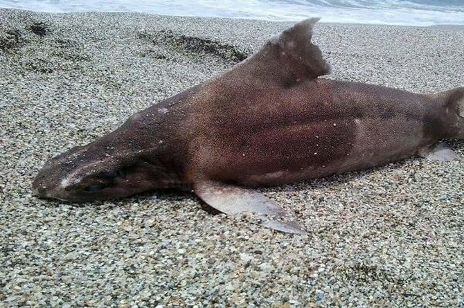 Hallan extraño tiburón con 'cara de cerdo' (+fotos)